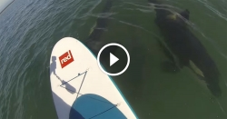 Stand Up Paddle orca