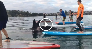 stand up paddleboarding with orcas