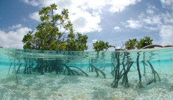mangrove-trees-in-clear-blue-water